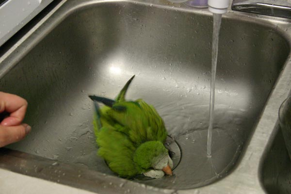 <p>Our quaker parakeet, Hank, taking a bath in the kitchen sink</p>
