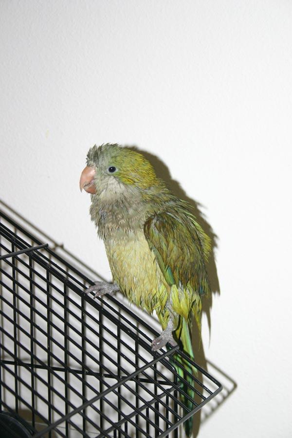 <p>Our quaker parakeet, Hank&#8212;all wet after he took a bath.</p>
