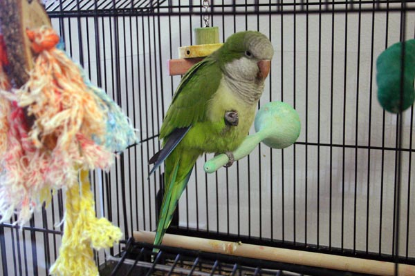 <p>A picture of Hank perching in his cage</p>