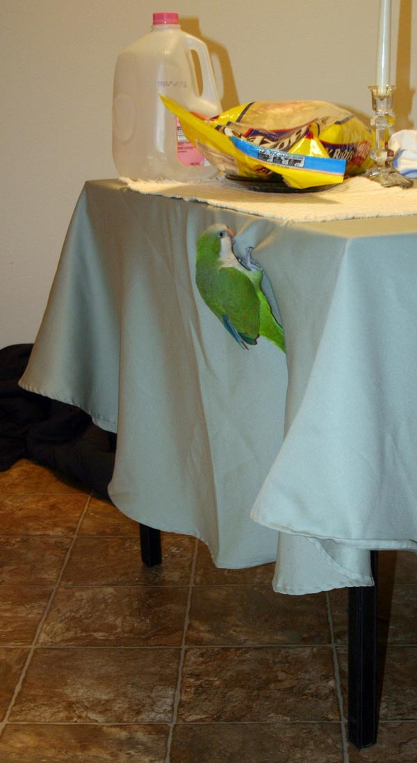 <p>Our quaker parakeet, Hank, climbing up the table cloth. The table has an empty milk jug to keep him from landing on that spot from his cage.</p>