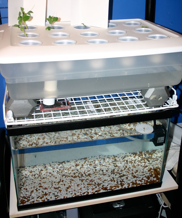 Aquaponics setup consisting of an aquarium and storage bin.